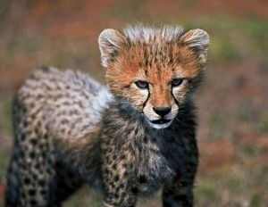 Cheetah (Acinonyx Jubatus) as seen in the Masai Mara
