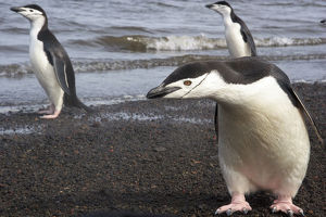 Chinstrap Penguin. Whaler's Bay, Deception Island. Antarctica