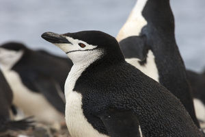 Chinstrap Rookery. Whaler's Bay, Deception Island. Antarctica