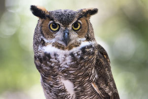 Close up Portrait of Great Horned Owl looking at you