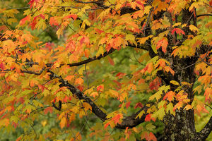 Close-up of maple tree with fall color, Upper Peninsula of Michigan, Hiawatha National