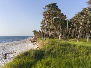 Coastal forest at the Weststrand (western beach) on the Darss Peninsula