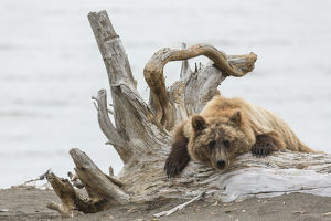 Coastal Grizzly Bear (ursus arctos) Hangs out on a tree stump, Alaska