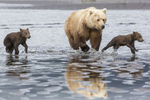 Coastal Grizzly bear (ursus arctos) mother and cubs run across mud flat, Lake Clark