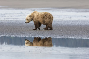 Coastal Grizzly bear (ursus arctos horribilis) walks along mud flats, Lake Clark