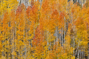 Colorado Rocky Mountains near Keebler Pass Autumn Colors on Aspen Groves
