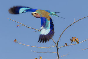 Colorful Lilac Breasted Roller taking flight, Etosha National Park