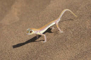 Colorful Web-footed or Palmatogecko gecko, Pachydactylus rangei, is nocturnal