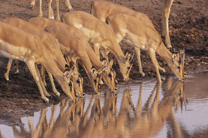 Common Impala (Aepyceros melampus) are reflected in the water as they gather to drink