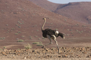 Common Ostrich, Struthio camelus, struts through rocky plains of the Damaraland region