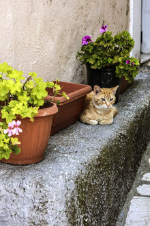 europe/greece/corfu greece orange tabby cat lays near potted