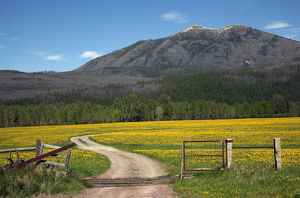 Country Roads Montana Countryside Yellow Flower Farm in front of Mountain Near Glacier