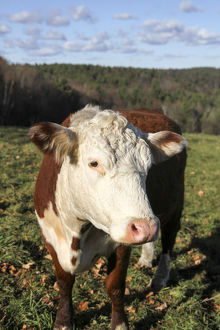 A cow at Wheel-View Farm, Shelburne, Massachusetts, United States, North America