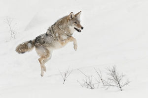 Coyote jumping in snow, (Captive) Montana Canis latrans Canid