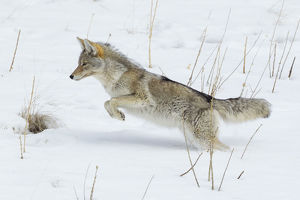 Coyote Leaping