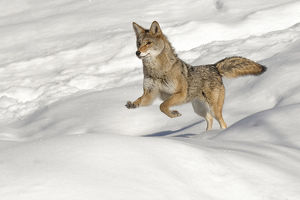 Coyote running on snow, (Captive) Montana Canis latrans Canid