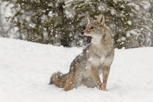 Coyote in snow, (Captive) Montana Canis latrans Canid