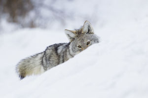 Coyote; on the winter hunt