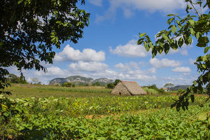 Cuba. Pinar del Rio. Vinales. Barn surrounded by tobacco fields