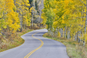 Curved Roadway near Aspen Colorado in autumn colors and aspens groves