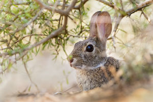 Eastern Cottontail Rabbit (Sylvilagus floridanus) resting in shade