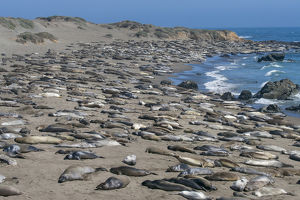 Elephant Seals on Beach, San Simeon, California