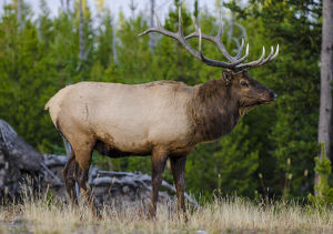 Elk (Cervus canadensis) near Lake Village, Yellowstone National Park, Wyoming, USA