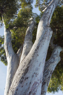 Eucalyptus Tree, California