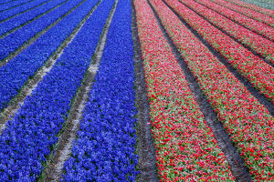 Europe, Holland, Rows in a Tulip Field
