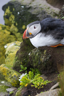 Europe, Iceland, Westfjords, Atlantic puffins, Fratercula arctica