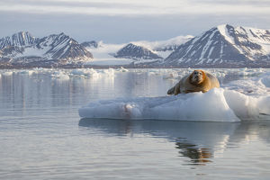 Europe, Norway, Svalbard. Bearded seal rests on ice
