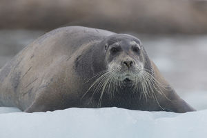 Europe, Norway, Svalbard. Bearded seal rests on sea ice