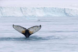 Europe, Norway, Svalbard. Humpback whale's tail flukes in dive