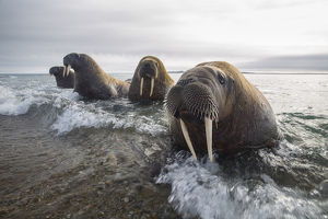Europe, Norway, Svalbard. Walruses emerge from the sea