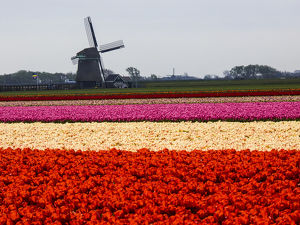 Europe;Netherlands;Nord Holland;Field of Tulip with windmill in flowers