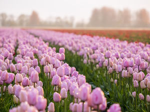 Europe;Netherlands;Nord Holland;Selective Focus of Tulip field with dew drops