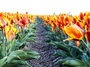 Europe;Netherlands;Nord Holland;Tulip Row of bright Orange and Yellow Tulips