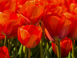 Europe;Netherlands;Nord Holland;Red Tulips in Mass