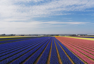 Europe;Netherlands;Southern Holland Province, Lisse, hyacinths fields