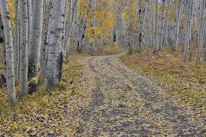 Fallen Aspen Leaves in Fall Keebler Pass, Colorado on Dirt Road