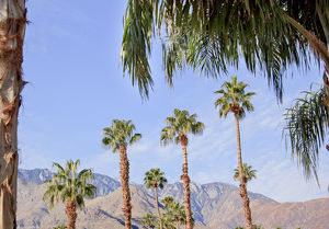 Fan Palms Trees Palm Springs California washingtonia filifera