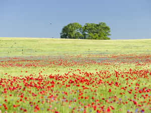 Field with poppy and conrflowers in the Usedomer Schweiz on the island of Usedom