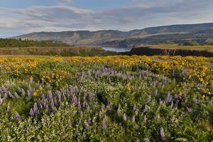 Fields of Balsamroot and Lupine on the Hills above the Columbia River Rowena, Oregon