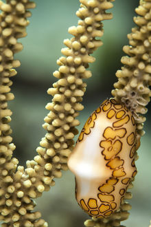 A flamingo tongue snail climbs across soft coral in the underwater macro photo near