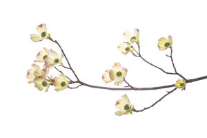 Flowering Dogwood (Cornus florida) branch on white background, Marion Co., IL