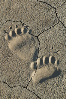 Footprints of adult coastal grizzly bear (ursus arctos). Lake Clark National Park, Alaska