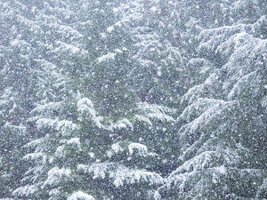 places/fresh snow evergreen trees