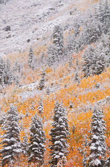 Fresh snow on fall aspens and pines along Bishop Creek, Inyo National Forest, Sierra