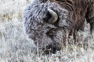 Frosted Bison grazing Yellowstone National Park, Montana/Wyoming