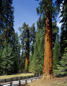 General Sherman tree in the background, the largest living tree (by volume), Sequoia